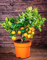 mandarine tree on a wooden