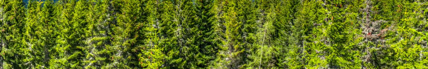 Panoramic view of pinewood.