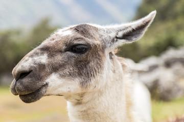 Llama at Machu Picchu, Cusco, Peru, South America. A UNESCO Worl