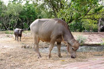 Thai buffalo eating dry grass near a pond,Water buffalo.Thailand