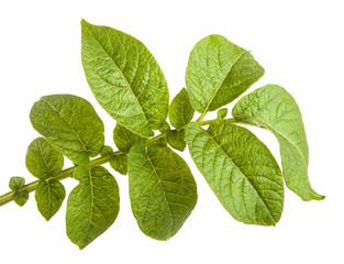 Potato leaf isolated on white background