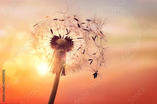 Dandelion silhouette against sunset