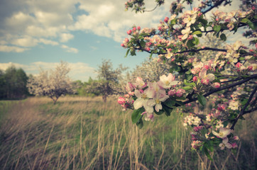 Blooming apple tree in orchard