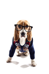 Smart puppy in pullover and glasses