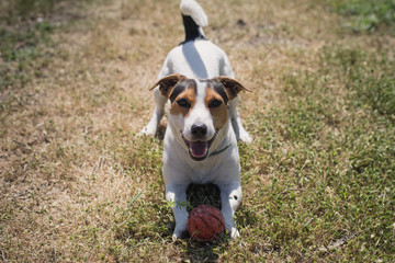 a small breed dog Jack Russell Terrier plays with a bright ball on the grass