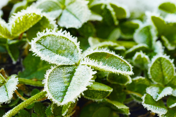 green clover leaves covered with ice