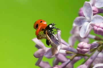Seven spot ladybug on lilac getting ready to fly, copyspace in the photo