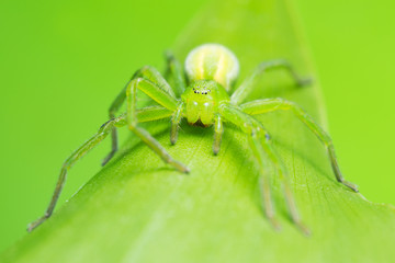 Green huntsman spider, Micrommata virescens camouflaged on lily of the valley leaf, copyspace in the photo