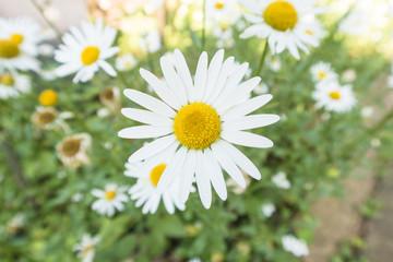 白い花「クリサンセマム・パルドサム(別名:ノースポール)」