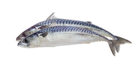 Two uncooked atlantic mackerel on a light background