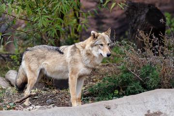 Портрет волка