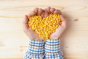Handful of harvested corn seed heart shaped pile, top view