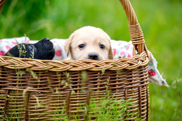 labrador puppies in a basket
