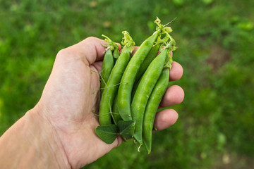 Peas in hand