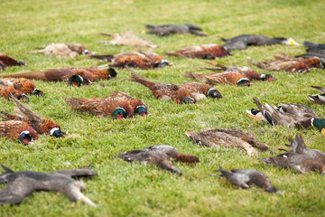 hunting trophies. the hit ducks, production, hunting for ducks, the killed birds, the winged birds, hunting for birds,