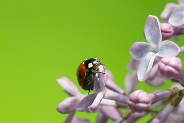Seven spot ladybug on lilac, copyspace in the photo