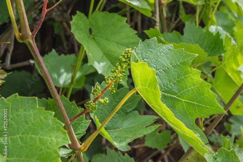 Triebe eines Weinstockes
