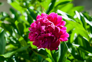 Peony garden lush with beautiful bright pink petals
