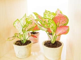 Aglaonema Scientific plant in pots for decoration