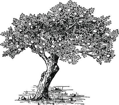 Vintage image apple tree