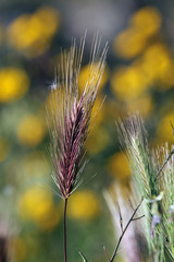 Espiga de herbácea, Sauceda, Hurdes, España