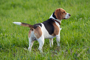 Hound dog English Beagle on meadow