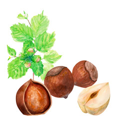 hazelnuts, whole and half, branch with leaves, on white background, watercolor painting, realistic illustration