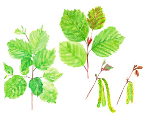 set hazelnut branch with green leaves, spring young leaves and blossoming willow catkins, hazel flowers, on white background, watercolor painting, realistic illustration