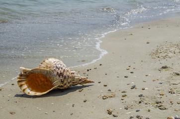 Shell Charonia Tritonis on the beach