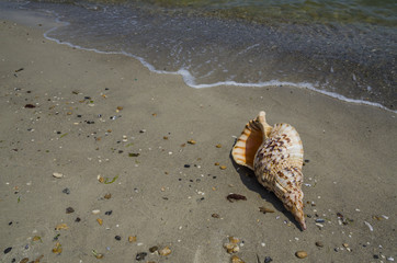 Shell Charonia Tritonis on the beach