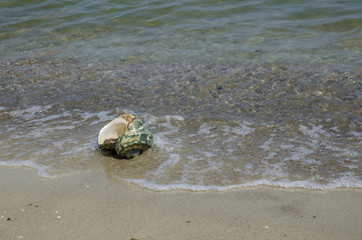 Large seashell Turbo Marmoratus on the beach