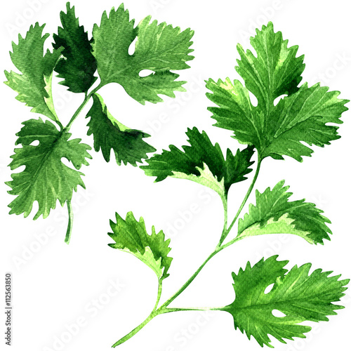 "Parsley Illustration ""Fresh parsley he..."