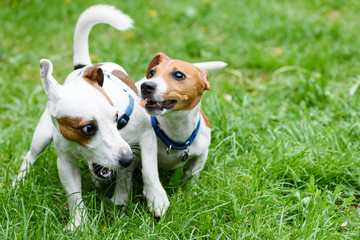 Two funny pet dogs playing on green grass