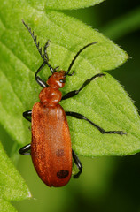 Red-headed Cardinal Beetle, Pyrochroa serraticornis