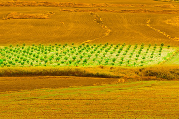 Olive Trees on the Hills