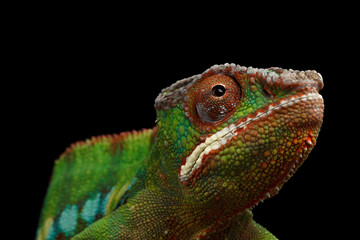 Closeup Head of Panther Chameleon, reptile with colorful body Isolated on Black Background