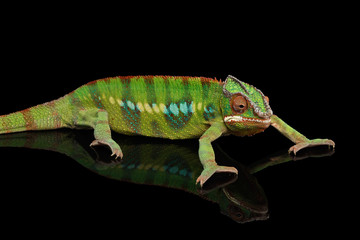 Panther chameleon, reptile with colorful body resting on Black Mirror, Isolated Background