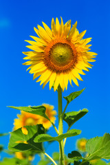 Beautiful colorful sunflower blooms , sunflower with clouds and blue sky