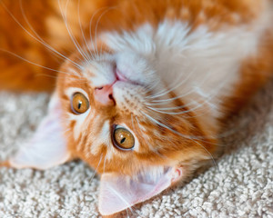 Portrait of domestic red Maine Coon kitten, 3,5 months old