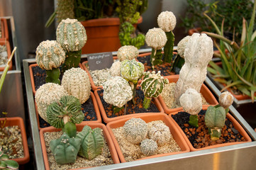 Row of small cacti