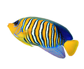 Tropical fish isolated white background (Regal Angelfish)