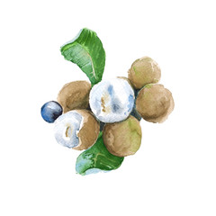 tropical fruits longan. isolated. watercolor illustration