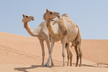 Two camels side by side in the desert