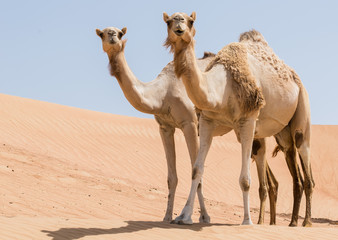 Two camels in the desert looking forward