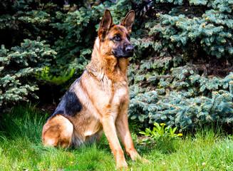 German shepherd seats. German shepherd is on the green grass.