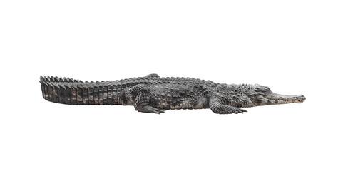 dd46e8967a8a0 Crocodile isolated on white.