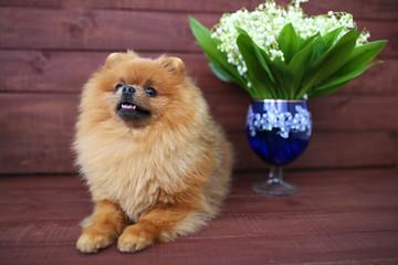 Pomeranian dog on wooden background. Beautiful dog indoor. Happy dog. Dog with flowers