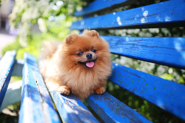Pomeranian dog on a blue bench. Happy dog. Beautiful dog in a park. Adorable pomeranian
