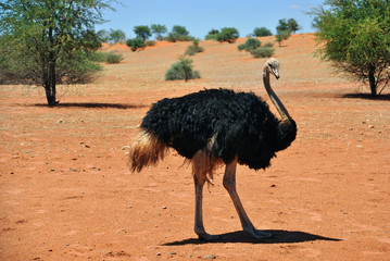 Female ostrich in Africa