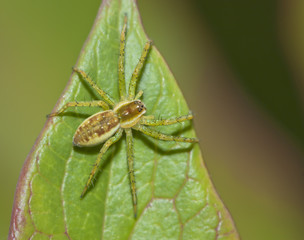 Spider hiding on a leaf